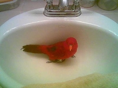 A Red Lory Bird is standing in a bathroom sink and it is looking forward.