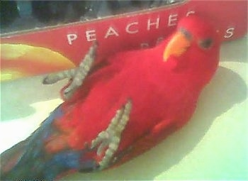 A Red Lory Bird is laying on its back with its feet it air looking up. There is a Peaches box behind it.