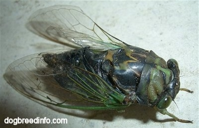 Close Up - Annual Cicada on a wall