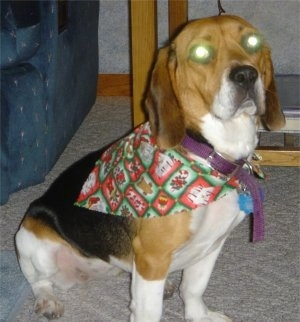 Peyton the Bagle Hound sitting on a carpet with glowing eyes wearing a bandana