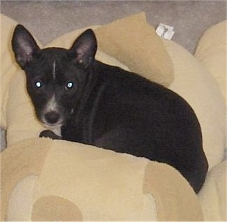 Hope the Basenji puppy laying on a lot of tan pillows