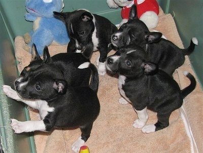 Hope, the Basenji puppy at 6 weeks old with her litter mates