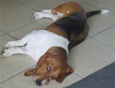 Daisy the Basset Hound laying on his side on a tiled floor