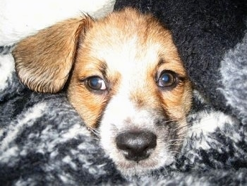 Close Up - Miley the Bea-Tzu puppy surrounded by a blanket