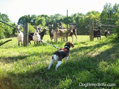 Snoopy the Beagle looking at a herd of goats who are looking back at him from behind a fence