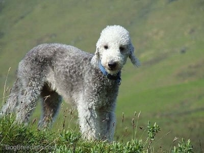 Brenin the Bedlington Terrier standing on a grassy hill