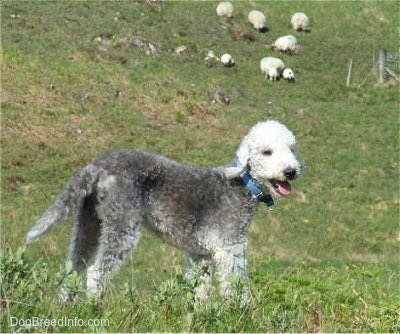 Brenin the Bedlington Terrier standing on a grassy hill with its mouth open and a herd of sheep in the background