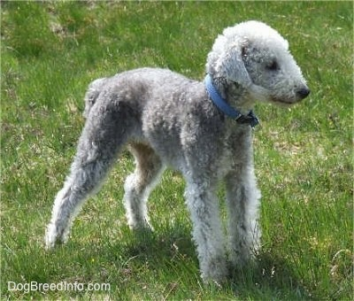Brenin the Bedlington wearing a blue collar standing in a grassy feild