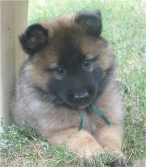 Front view - A small fluffy brown with black Belgian Tervuren puppy is laying in grass next to a cement wall and it is looking forward.
