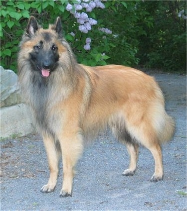 Belgian Tervuren Top Dogs