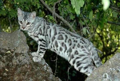 Silver-rosetted Bengal cat is standing between two rocks outside with green bushes behind it and looking towards the camera