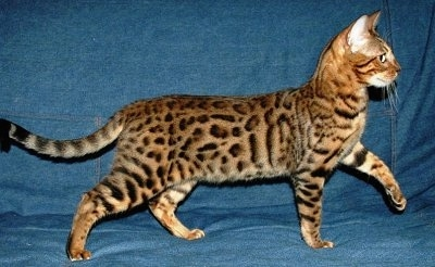 Left Profile - Gold-spotted Bengal Cat standing on a denim backdrop with its front left paw in the air