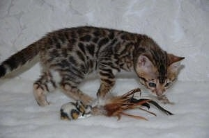 Gold Rosetted Bengal Kitten inspectting on a toy that is laying in front of it on a white lace backdrop