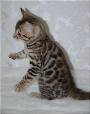 Gold Rosetted Bengal Kitten sitting on a white lace backdrop with its front paws in the air