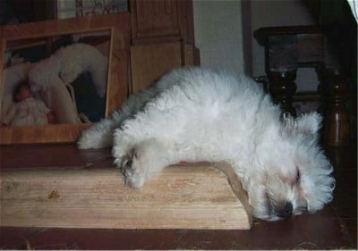 Angel the Bichon Frise sleeping on the floor hanging over a step with a big photo of a dog with a baby in the background
