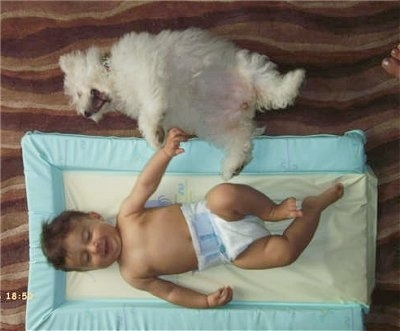 A top down view of a white Bichon Frise dog laying on its back with its mouth open next to a baby boy who is laying on a pillow and smiling.