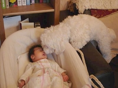A baby is sleeping in a crib. There is a white Bichon Frise dog looking into the crib and going nose to nose with the sleeping baby.