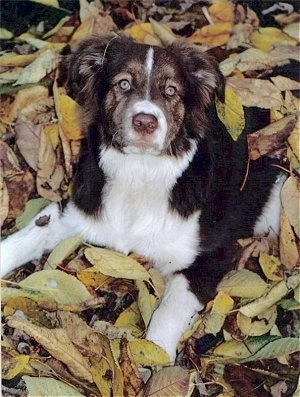 Boarder the Borador laying in a pile of leaves