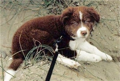 Boarder the Borador as a puppy laying in dirt with pieces of tall grass around it