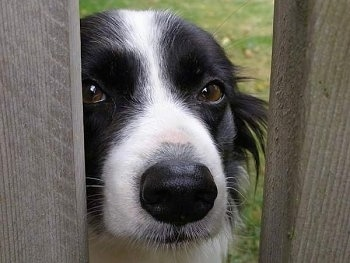 Close Up - Wynne the Border Collie looking through a large slit in a wooden fence