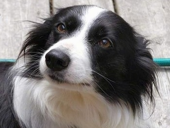 Close Up - Wynne the Border Collie face with its ears back on a wooden deck and a green hose in the background