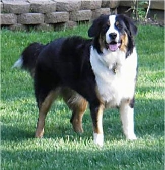 Daisy  the Border Collie   Bernese Mountain Dog mix  Bordernese  at 9    Bernese Mountain Dog Collie Mix