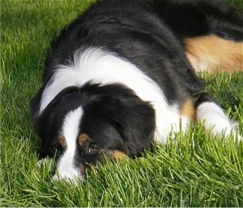 Daisy the Bordernese laying down in the grass