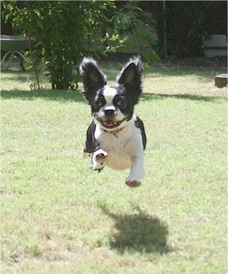 A black and white Bostillon is running across a lawn with all of his legs airborne.