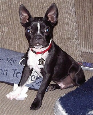 Close Up - Buddy the Boston Terrier sitting on a couch in front of a TV dish remote and next to a custom pillow