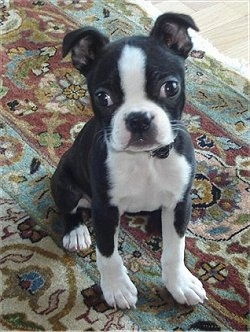 Mya the Boston Terrier puppy sitting on an oriental rug and looking at the camera holder