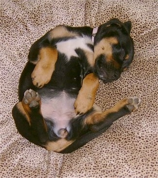 Kalila the Boxweiler puppy sleeping on a pillow on its back belly-up