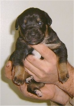 Kalila the Boxweiler puppy being held up in the air by a person