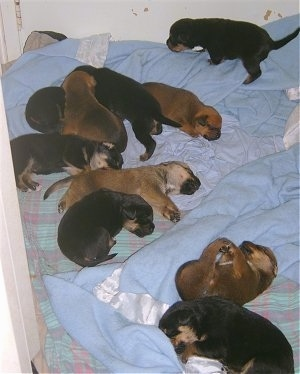 A litter of 10 Boxweiler puppies laying and walking on blankets