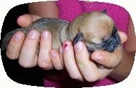 Close Up - Buggs puppy being held snuggly in the hands of a person