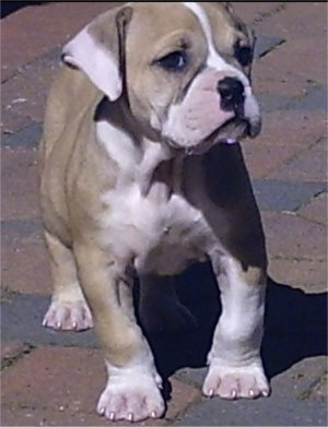 View from the front - A tan with white English Bulldog/Olde Tyme Bulldog mix puppy is standing on a brick surface. It is looking up and to the right.