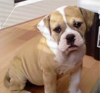 View from the front side - A calm-looking, tan with white English Bulldog/Olde Tyme Bulldog mix puppy is sitting on top of a hardwood floor and its head is tilted to the left.