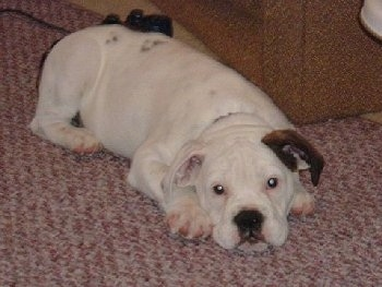 Aspen the Bullmatian Puppy laying down on a rug in front of a couch and a Playstation 2 controller