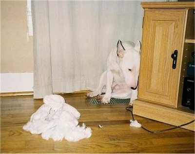 Lude, the Mini Bull Terrier. She decided to eat her owners childhood stuffed bear.  I love the look of shame on her face!