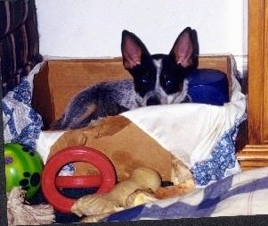 Coyote the Australian Cattle Dog Puppy is laying in a box and looking over the edge. There is a red ring toy, a rawhide bone and a green ball in front of the box