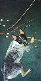 Coyote the Australian Cattle Dog is laying on a green carpet and chewing on a huge stick