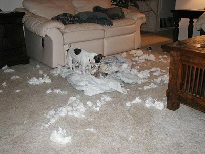 Moxi the Chihuahua Terrier mix is standing on a pile of ripped items and is ripping open the stuffed animal in her mouth.