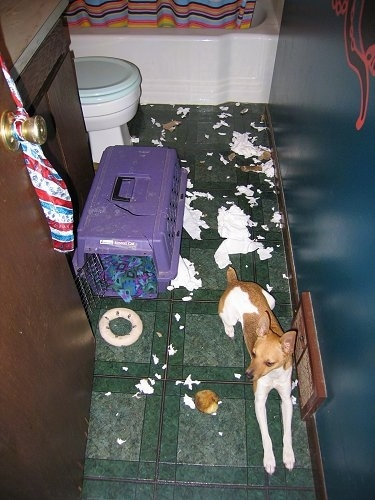Otto the Rat Terrier is laying on a green tiled floor in a bathroom near a vent and next to a purple crate. There is ripped toilet paper everywhere behind him