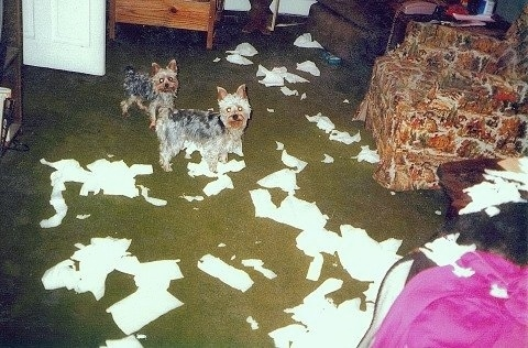 Rocky and Dusty the Yorkshire Terriers are standing in a green carpeted room with a lot of chairs and the floor is riddled with torn apart tissues