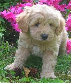 Close Up - A Cavapoo Puppy is laying in a bed of hot pink flowers