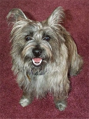 6 month old female Cairland Terrier (Cairn Terrier / Westie hybrid) puppy