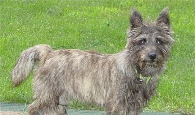 Bosley, the full grown male Cairland Terrier (Cairn Terrier / Westie hybrid)