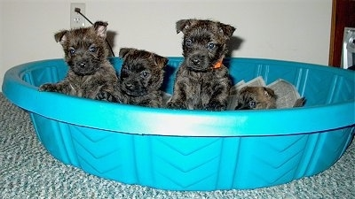3 week old Cairland Terrier (Cairn Terrier / Westie hybrid) puppies