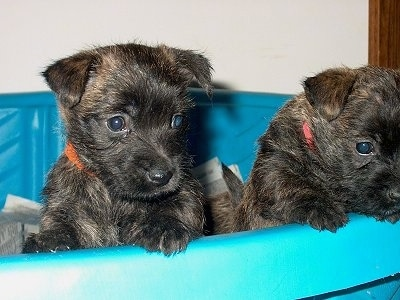 Two Cairland Terrier puppies in a blue plastic swimming pool that is being used as a whelping box. They are jumping up at the side peering over the edge