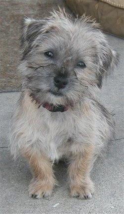 at 5 months old a Care-Tzu (Cairn Terrier / Shih-Tzu hybrid puppy
