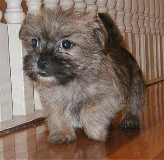 Bentley the Care-Tzu Puppy is walking across a hardwood floor next to white bannister railings